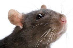 شركة مكافحة قوارض بالرياض شركة مكافحة قوارض بالرياض Combat rodents