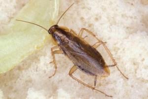 شركة مكافحة صراصير بالرياض شركة مكافحة صراصير بالرياض شركة مكافحة صراصير بالرياض Combating cockroaches
