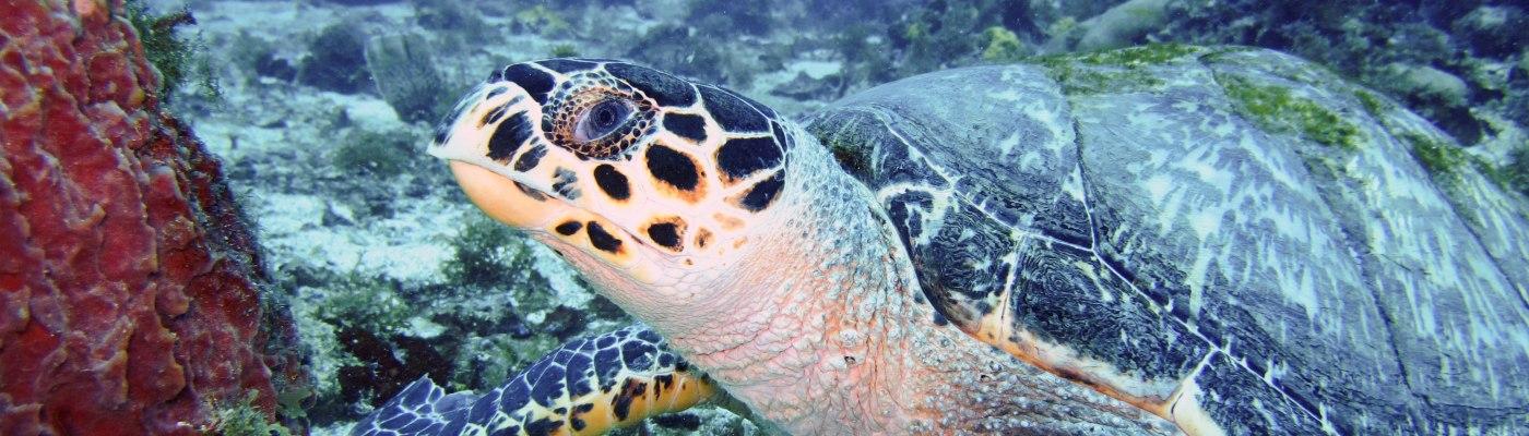 portrait de tortue au rocher du Diamant- DSC club de plongée