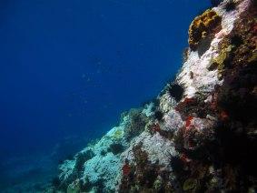 tombant de la baie du diamant- DSC club de plongée