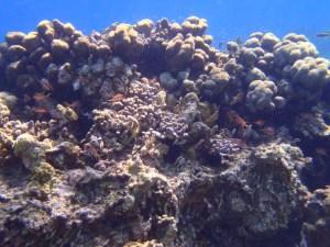 Patate corail et poisson au Marin- DSC club de plongée