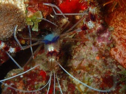 crabe araignée- Diamant Sub club- club de plongée du Diamant