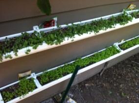 Greens in gutter gardens 2-3 weeks growth