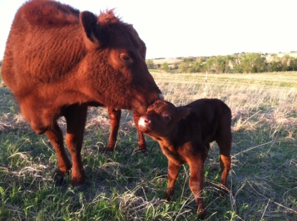 Calf travels with herd on first day.
