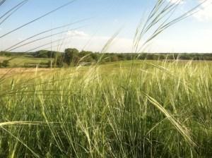 Porcupine Grass (Stipa spartea)