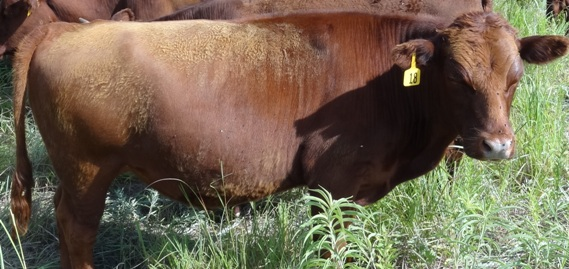 grass fat yearling