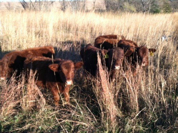 calves in stockpiled forage
