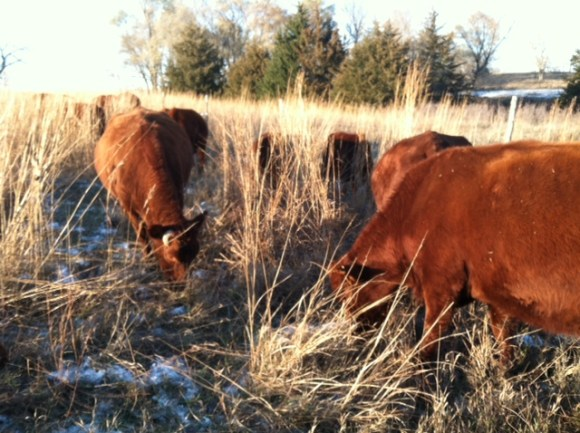 Note cattle in tall brown stockpiled grass.  Area not grazed during the growing season saved for this time of year.