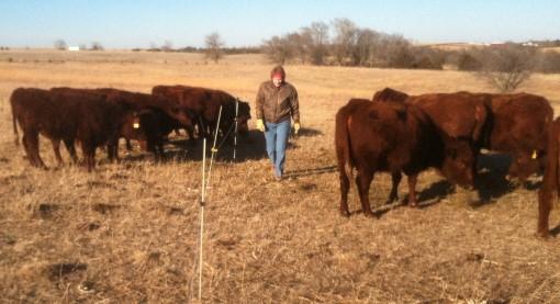 Sorting calves.