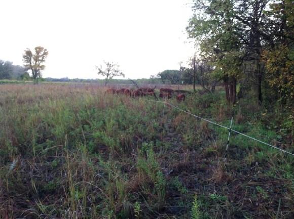 Pasture Grazed Cattle