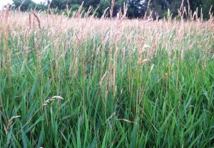 Solid stand of reed canary grass next to trailed area.  Very little insect life in this low diversity area.
