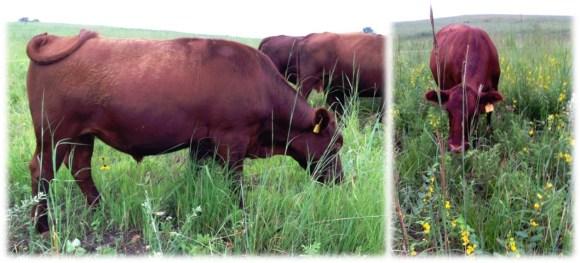 pasture grazed beef
