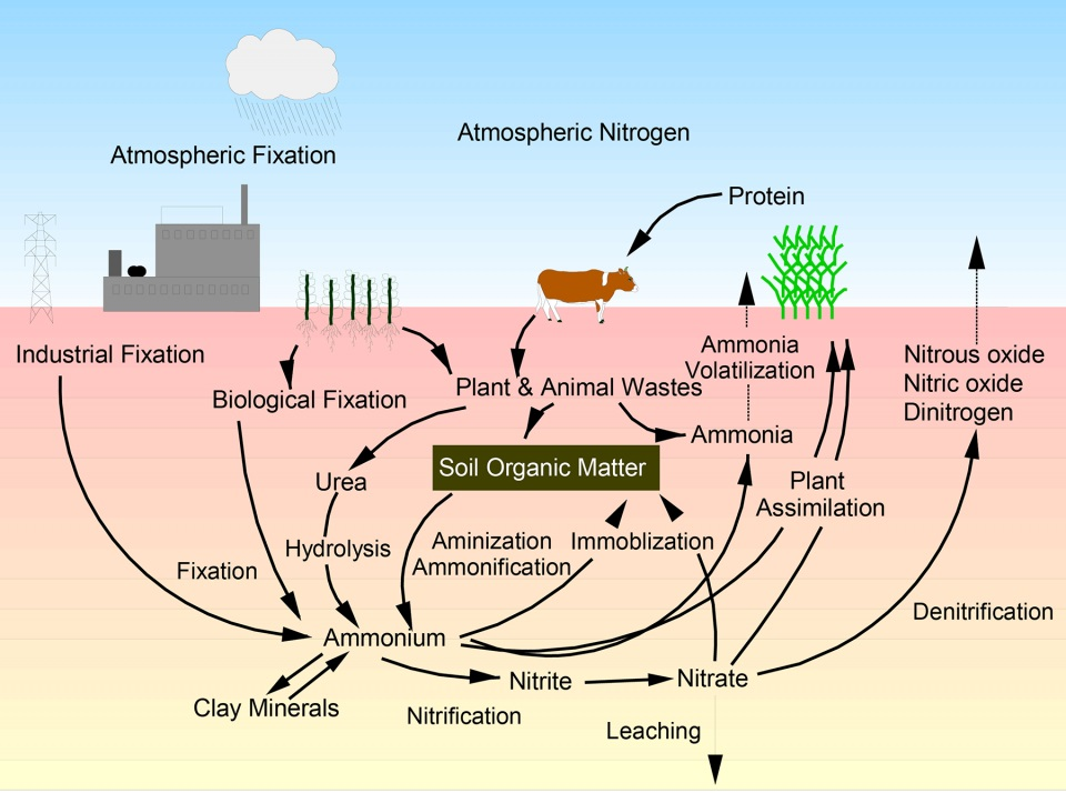 cow icon of nutrient cycles we need the poop! ds family farm Nitrogen Fixing Bacteria the nitrogen cycle, note the cow! as an aside, legumes in our pasture \u201cfix\u201d atmospheric n for free industrial fixation of n requires 300 atmospheres of