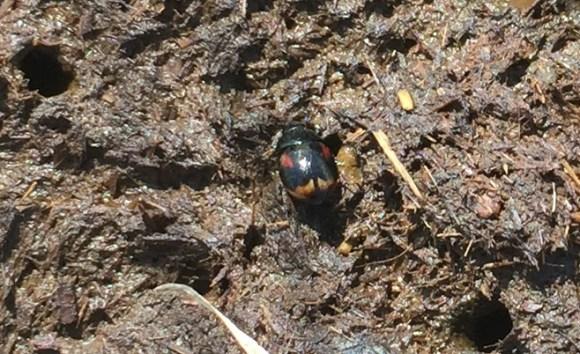 Sphaeridium Beetle