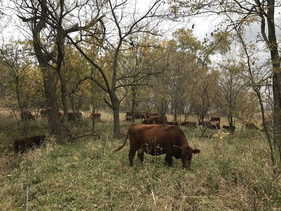 Grazing the annual leaf drop in a section of forest/stream that was last grazed the summer of 2016.