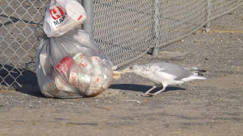 sea gulls, trash, littering, indian river inlet, IRI