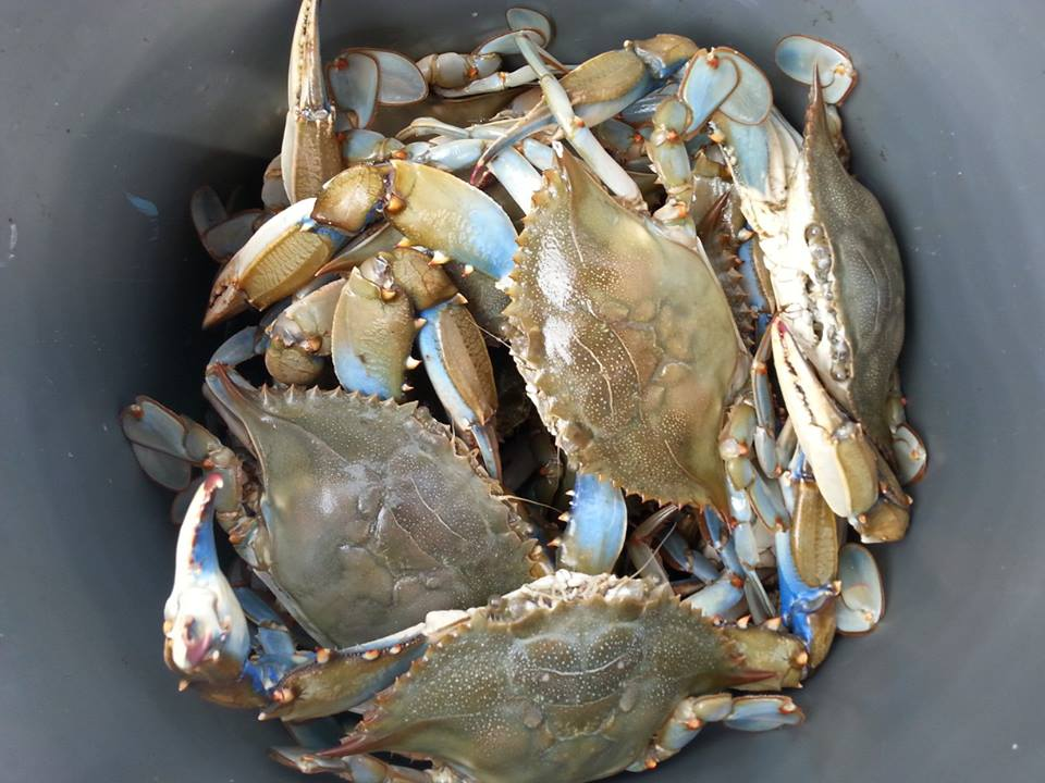 Delaware, Blue Claw Hard Crabs, indian river inlet, rehoboth bay, assawoman bay, inland bays, delaware bay, steamed crabs, crab cakes, snook, jimmy, sponge crab, she crab, peelers, soft shell
