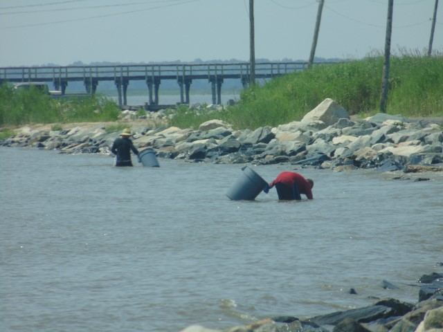 harvesting horseshoe crabs, delaware bay, port mahon, leipsic, little creek, fishing pier