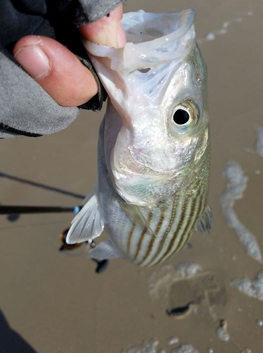 short striped bass, surf fishing,delaware, sussex county, 3rs, southside, rockfish, surf rats