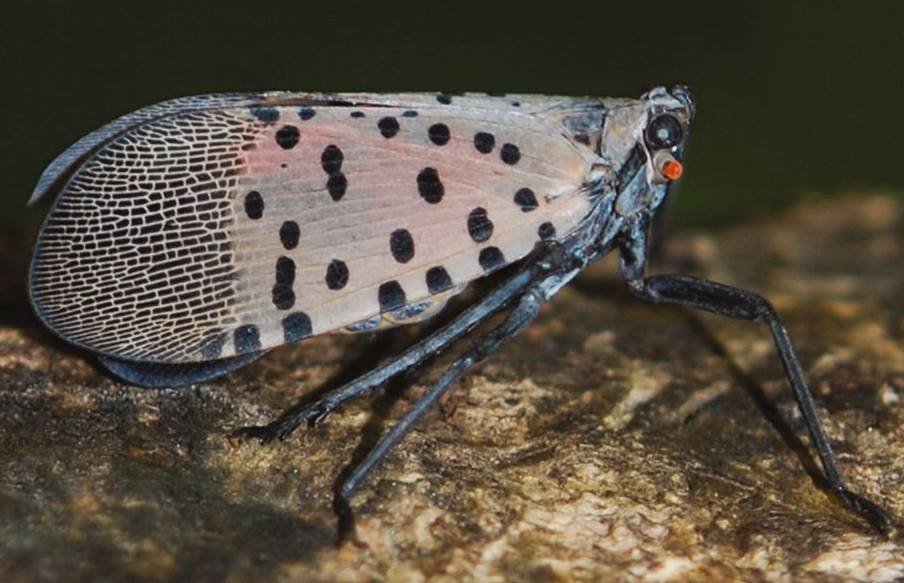 new castle county, delaware, invasive species, insects, Spotted lantern fly, department of agriculture