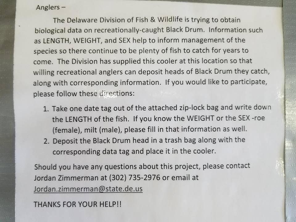 dnrec, black drum study, cooler for fish heads, black drum, drum