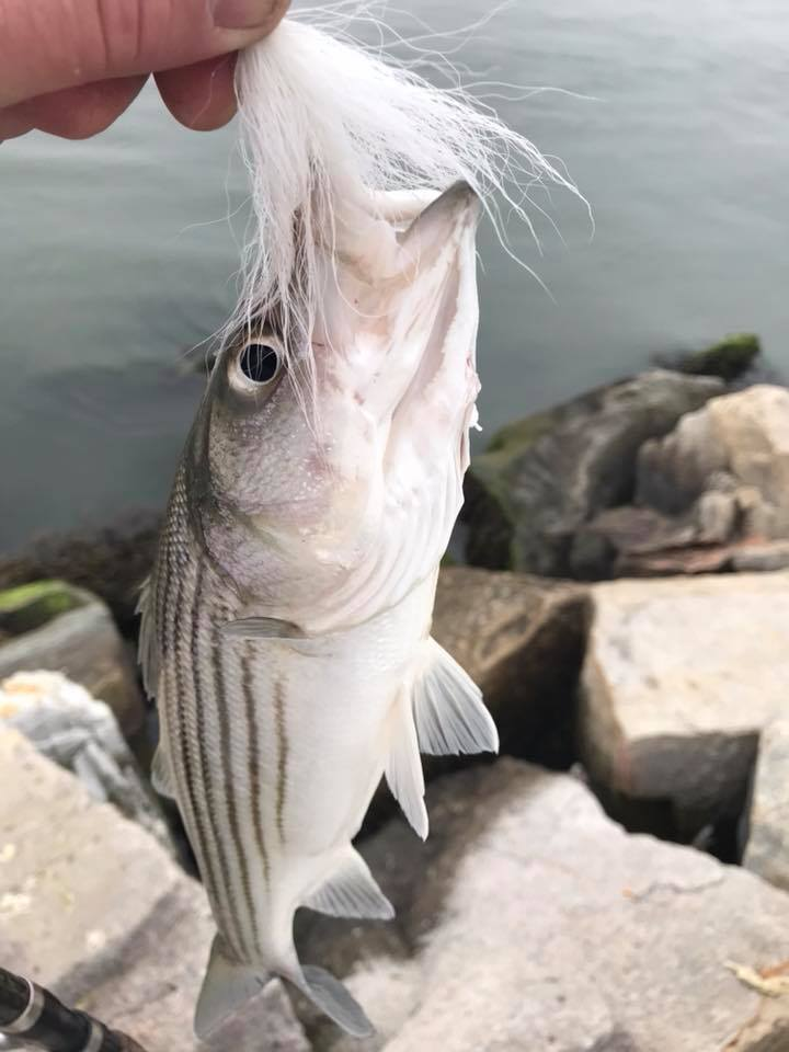 indian river inlet, short striped bass, delaware, sussex county, rockfish,