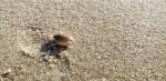 sand flea, mole crab, delaware beaches, sussex county