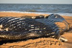 whale, humpback whale, cape henlopen state park, the point, delaware, sussex county, MERR, arine Education, Research and Rehabilitation Institute, atlantic ocean bunker, whale stranding