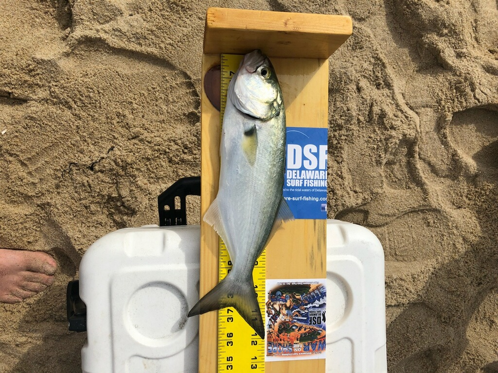 bluefish, surf fishing tournaments, delaware, sussex county