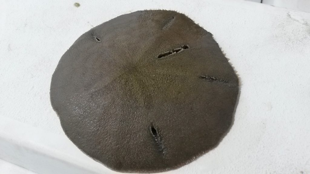 sand dollar, delaware, sussex county, indian river bay, inland bays, assawoman bay, rehoboth bay,