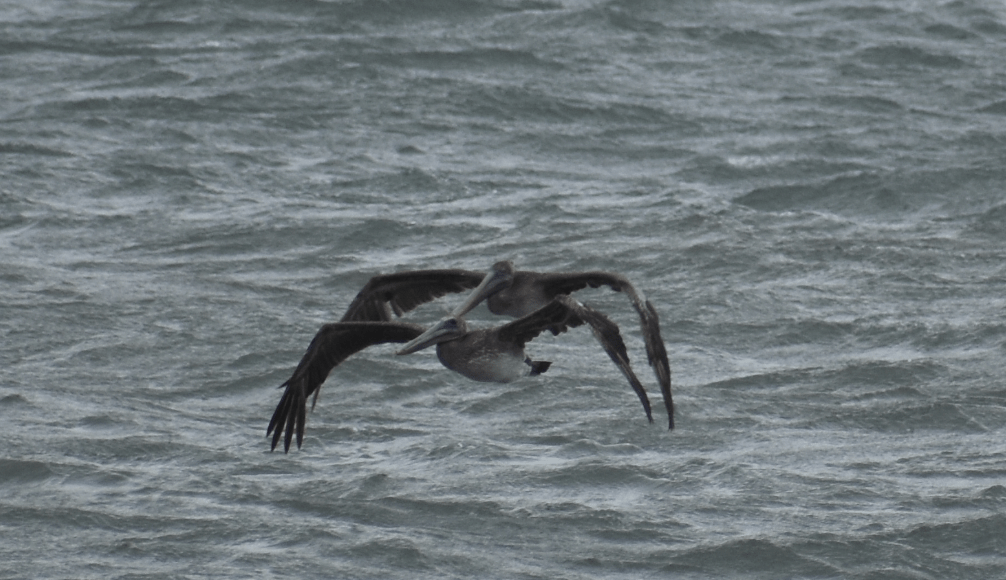 pelican, brown, delaware beaches, sussex county, migratory birds, finding nemo