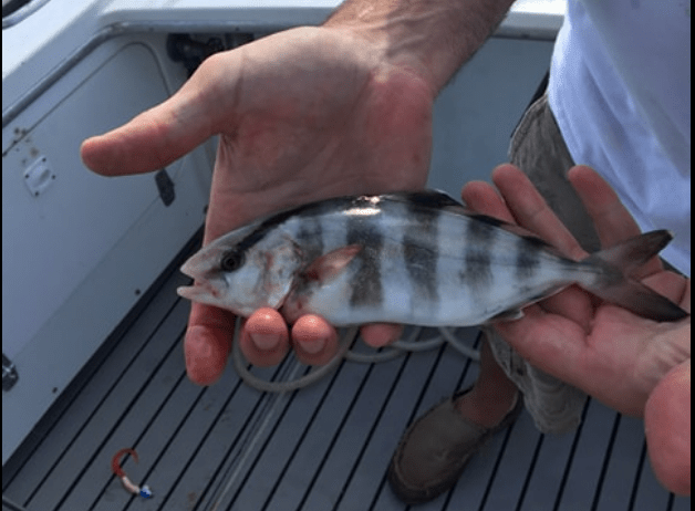 Banded Rudderfish