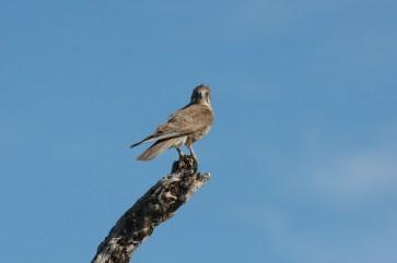 Female Brown Falcon in the wind