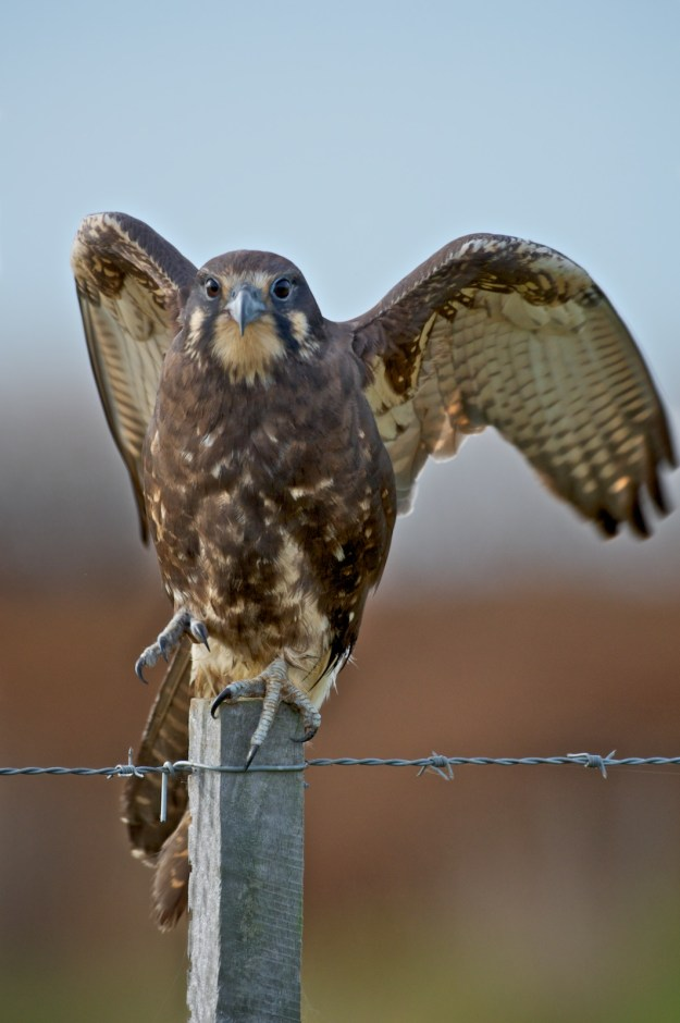 Early morning. I don't think it wanted to move in the cool air. It held its spot, even when I moved the car opposite its perch. It is at about 12 metres. I had to shoot vertical with the 500mm lens to get all the bird in. This is a wing stretch just before take-off.
