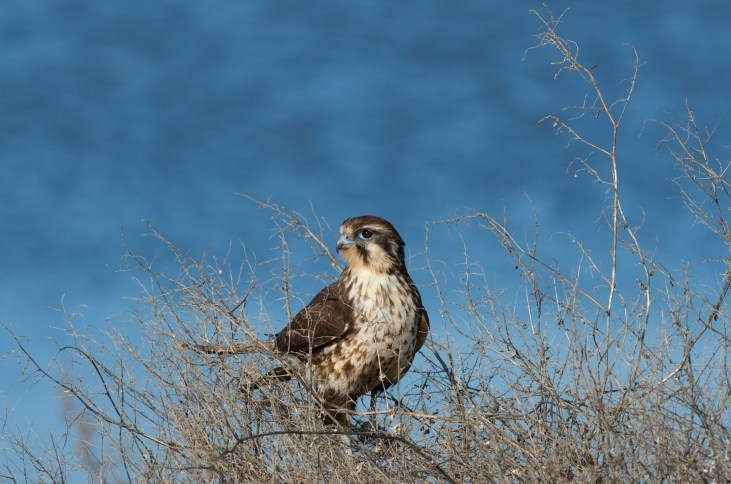 Brown Falcon not giving up on the search