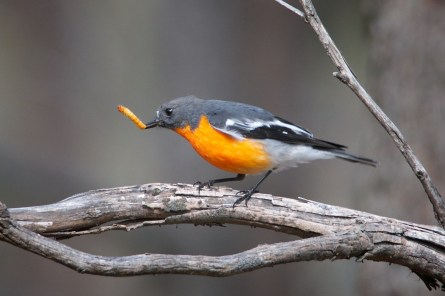 Flame Robin Male with orange grub