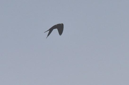Ah, a Black Falcon