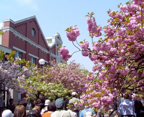 造幣局的櫻花走廊(大阪市北區)