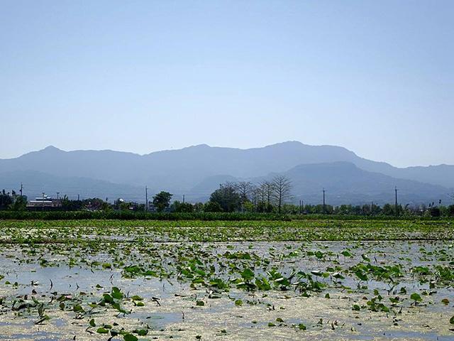 baihe-lotus (5)