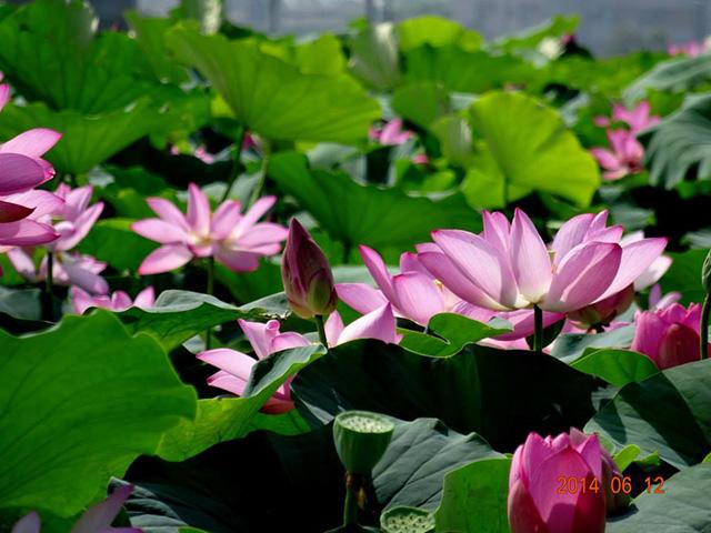 baihe-lotus (9)