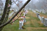 Cherry blossoms arrive early in the season, contrasting the start white headstones.