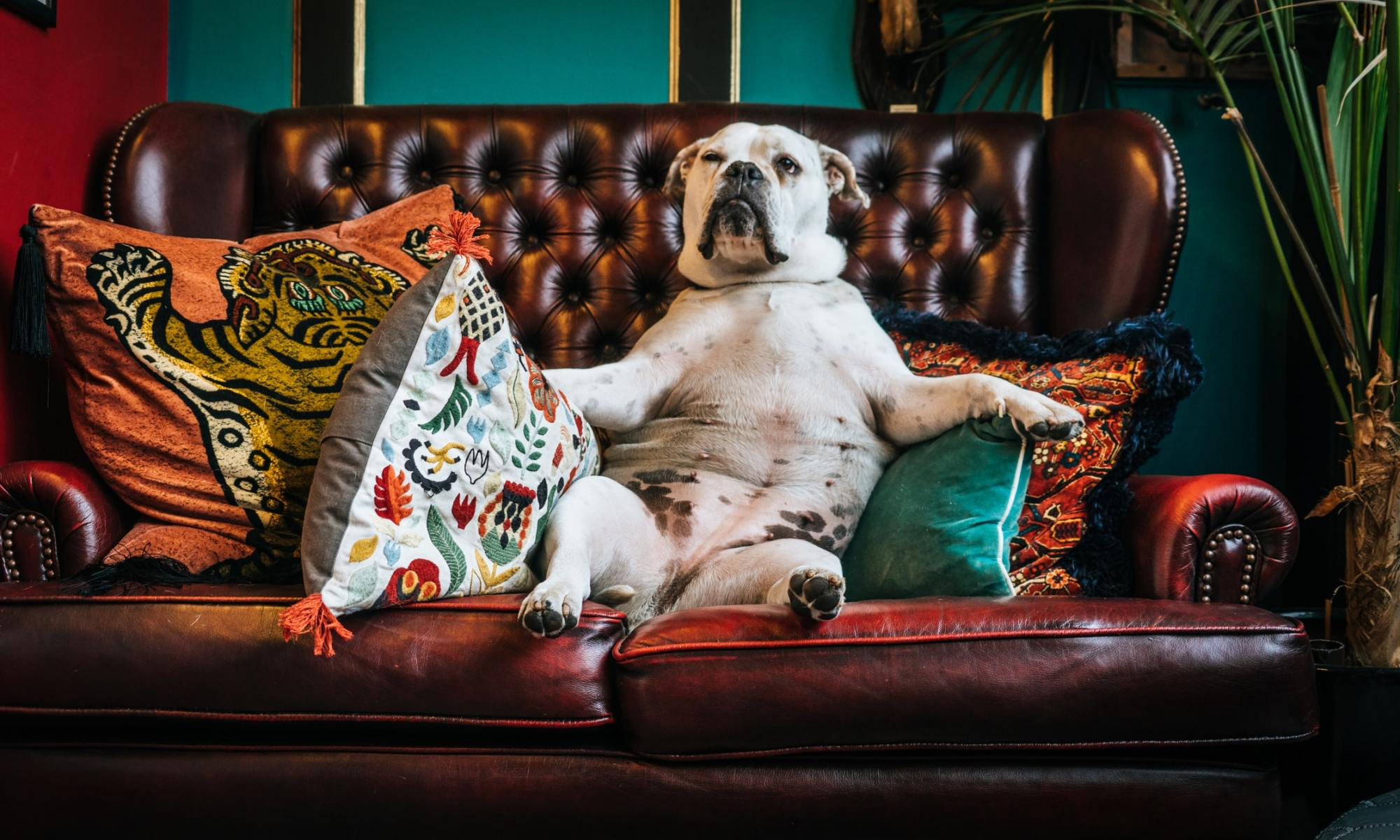 Lazy adult American bulldog sitting on brown leather couch with pillows