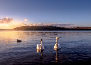 Two white swans in lake