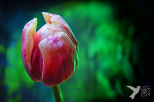 Light painted tulip 3