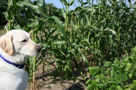 Cody the garden dog