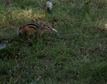 Chipmunk on the move in Maine.