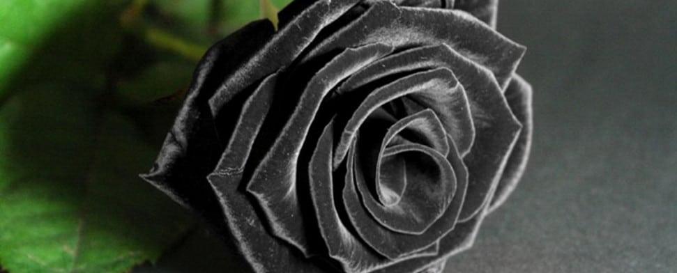 Die schwarze Rose aus Halfeti - DTJ Online