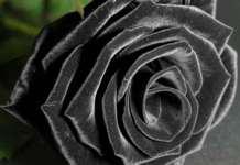 Schwaze Rosen gibt es nur in Halfeti im Südosten der Türkei.