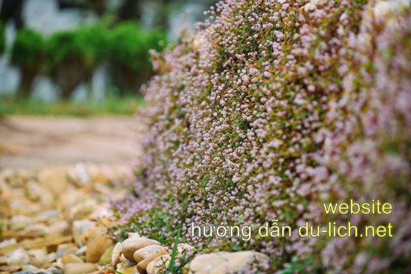 Ngoài hoa đào ra, Sapa còn có nhiều loài hoa khác vào tháng 1 và 2 nữa