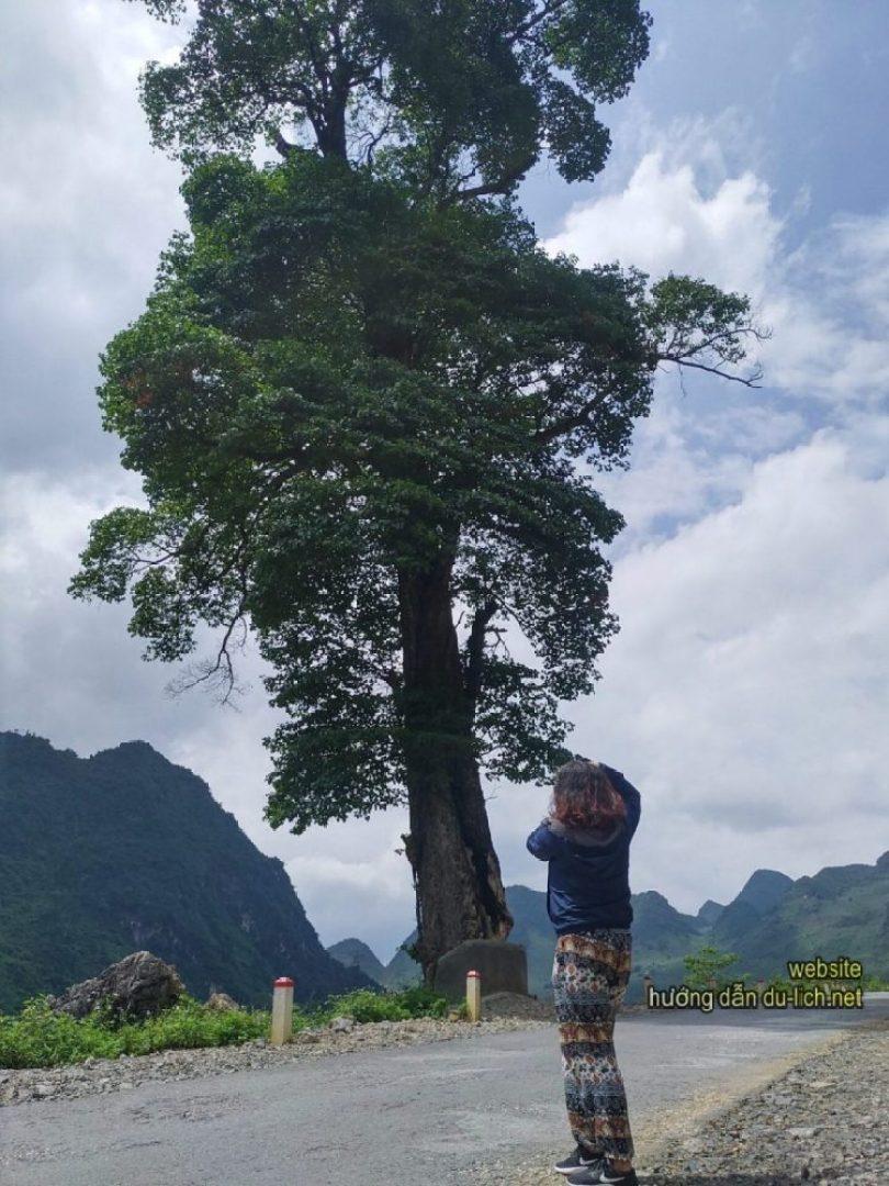 Cây cô đơn - Review kinh nghiệm du lịch Hà Giang 1 mình (Trang Phạm) (9)